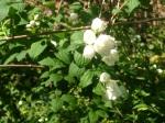 Gorgeous smelling shrub - jasmine maybe?