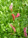 Pointy pink spikes - still unidentified from the last quiz