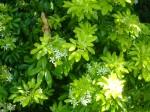 Vicarage bush